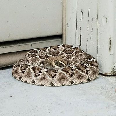 Snake and rattlesnake removal - Rattlesnake Solutions in